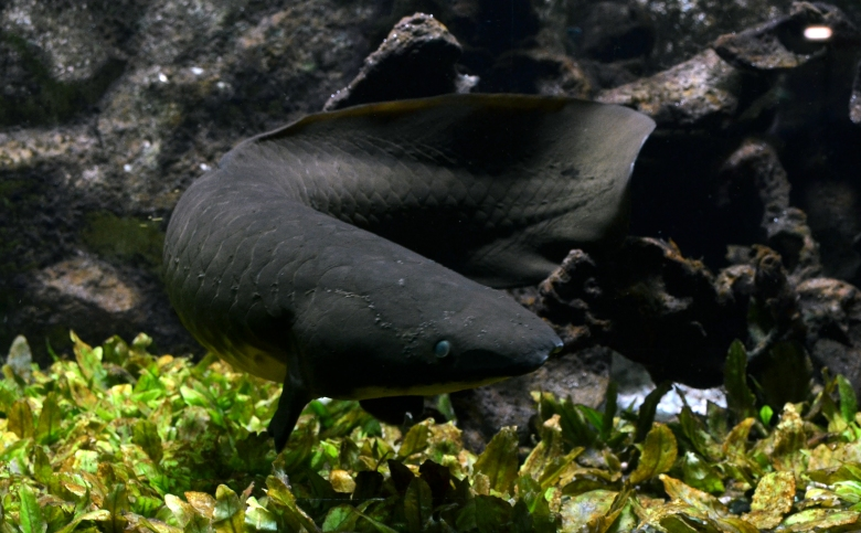 Neoceratodus_forsteri_Aquarium_tropical_du_Palais_de_la_Porte_Dorée_10042016_3